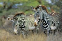 zebra-18c86c4edf280b8994e34a13944926ec.jpg